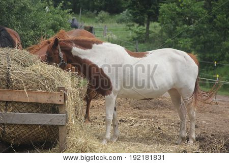 Three horses eating in an enclosure in Northern Michigan