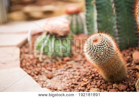 Cactus Family, barrel cactus, close-up barrel cactus