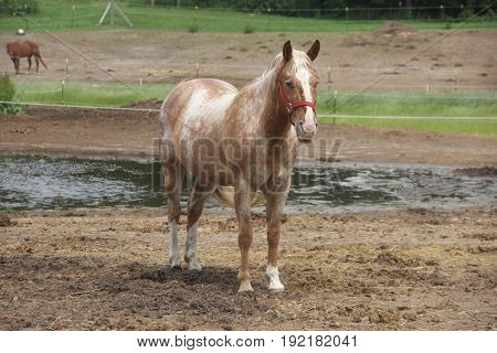 A horse (Equus ferus caballus) stands in an enclosure in Northern Michigan