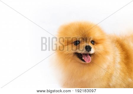 Portrait of sitting pomeranian spitz isolated on white background