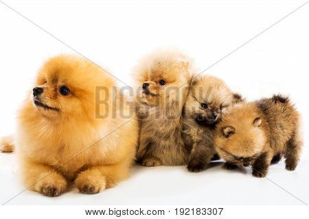 Family of pomeranian spitz dogs on white background
