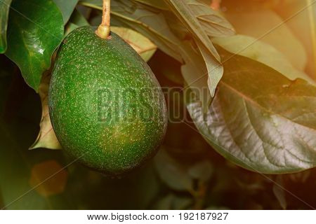 Growing green avocado close-up. Avocado fruit on tree branch