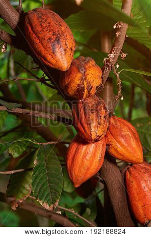 Group of yellow cacao pods hanging on tree. Plantation of cocoa fruits