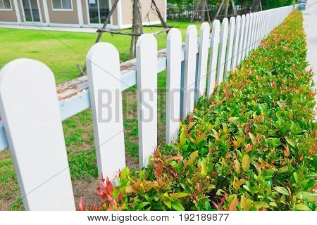 White Wooden Picket Fence With Green Plant Hedge.