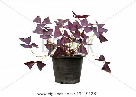 Oxalis in a pot isolated on white background