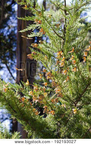Cluster of Monarch Butterflies on a tree near Pismo Beach, California, USA.