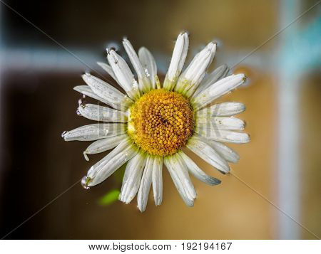 Field of daisies floating in the water. Chamomile, top view with small depth of field. Flowers with white petals and yellow head photographed closeup with soft focus on nature blurred background
