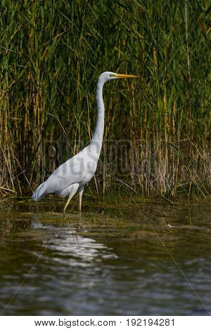 Great White Egret (egret Alba) Standing In Water In Sunshine With Green Reed Belt