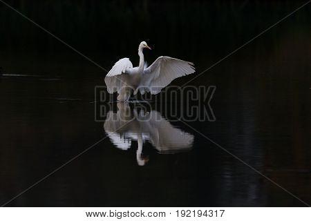 Reflected Great White Egret (egretta Alba) Landing In Dark Water Mirror