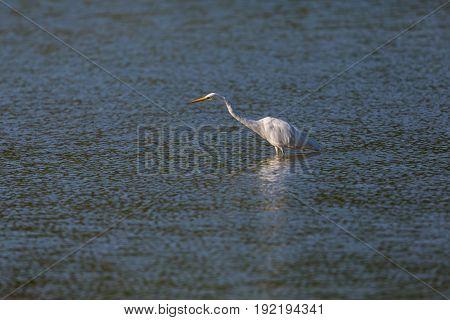 Great White Egret (egretta Alba) Walking And Wading In Blue Water During Sunshine