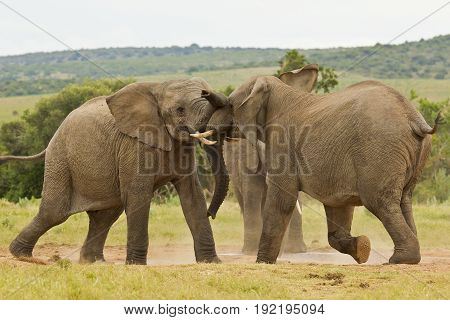 two young african elephants playing at a water hole on a hot summers day