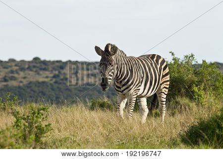 Lonely zebra walking slowly through long dry grass in the hot sun