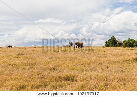 nature and wildlife concept - elephants and other animals in maasai mara national reserve savannah at africa