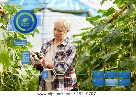 organic farming, agriculture and people concept - senior woman harvesting crop of cucumbers at greenhouse on farm