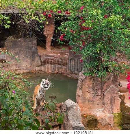 tiger in a zoo and being feeded