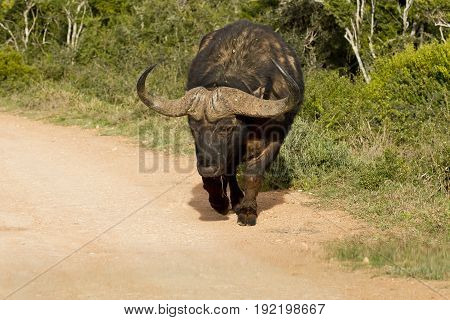 Young African buffalo walking along a dusty gravel road in the hot sun