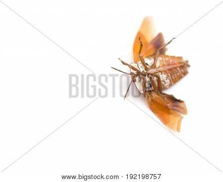 upside down bed bug with wings opened on white background