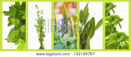 Set of organic healthy herbs basil sage chia thyme parsley and mint as a panoramic banner