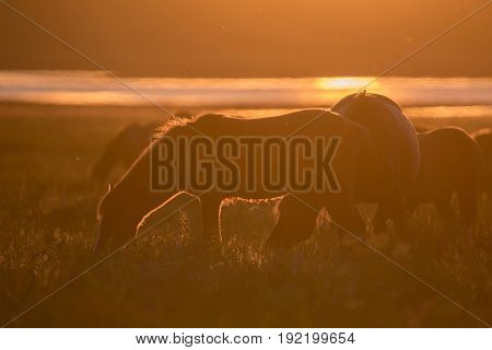 Mustangs or wild horses graze at sunset on meadow in Rostov national reserve, Russia