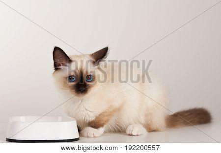 A Seal Point Birman Cat, 4 Month Old Kitten, Male.
