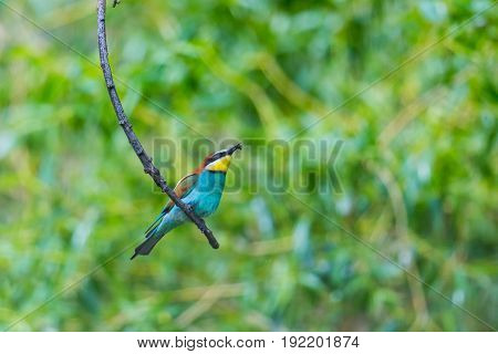 European Bee-eater Bird (merops Apiaster) Sitting On Branch With Insect In Beak