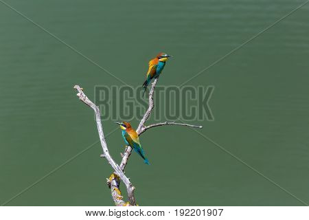 Two European Bee-eaters Birds (merops Apiaster) Sitting On Branch In Sunshine