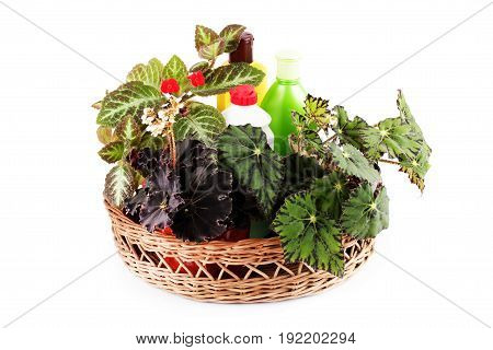 Red Episcia flower beautiful begonias and chemical fertilizers pesticides and insecticides in a basket isolated on white background .Hybrid begonia Tiger Paws Eyelashes or begonias with green leaf pattern and Dark Mambo.
