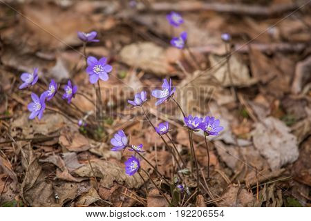 Beautiful Blue Kidneyworts In A Natural Habitat In Early Spring.