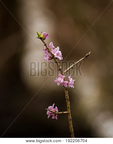 Beautiful Pink Daphne Mezereum Blossoms In A Natural Habitat In Early Spring.