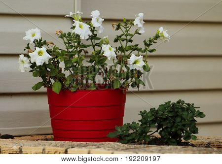 A red pot filled with both healthy and wilting white petunia flowers.