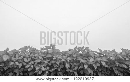 black and white shrubbery, Green hedges, shrubbery texture background, exterior in natural style