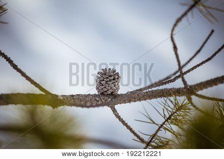 A Beautiful Pine Cone In A Natural Habitat