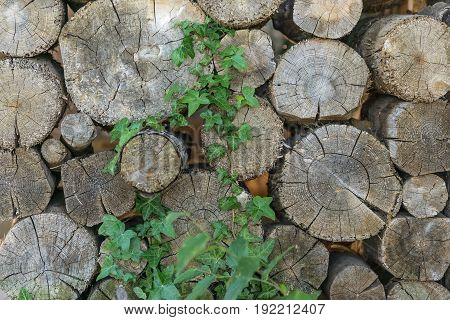 natural background texture Pile of wood logs dry chopped firewood with green ivy climbing plant