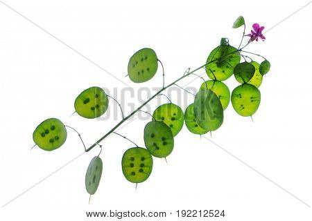 lunaria plant isolated
