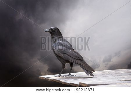 Common Raven sitting on a wooden table close up