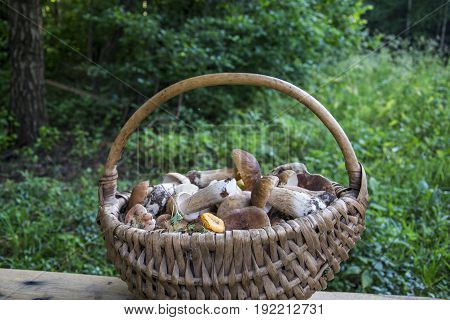 In the summer in the woods basket with edible mushrooms mushrooms: chanterelles russula boletus.
