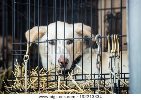 Long Distance Siberian Sled Dog In Cage Waiting For A Race In Norway