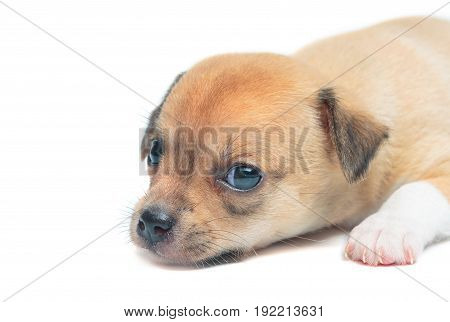 Puppy chihuahuas lying isolate on white background