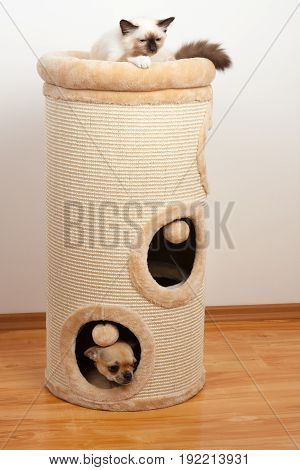 Birman Cat And Cinnamon Chihuahua Hidden Into The Cat Scratching Barrel