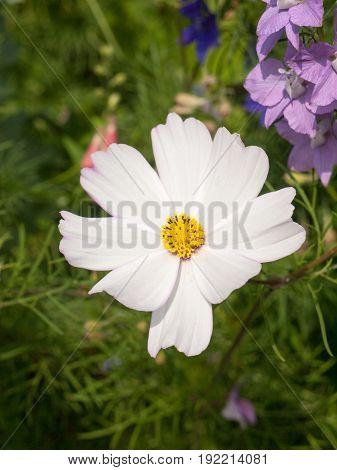 White Cosmos Flower Head In Garden