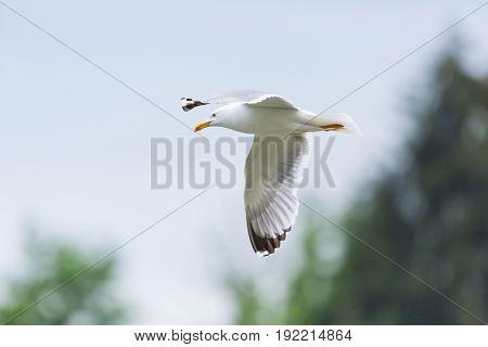 Portrait Of Natural Yellow-legged Gull (larus Michahellis) In Flight