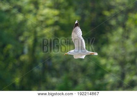 Portrait Of Yellow-legged Gull (larus Michahellis) In Flight, Green Background