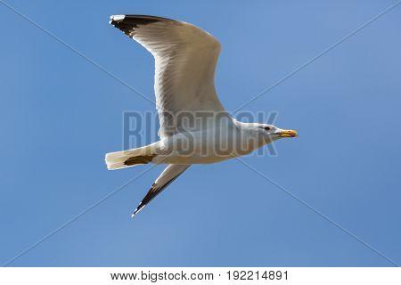 Portrait Of Yellow-legged Gull (larus Michahellis) In Flight, Blue Sky