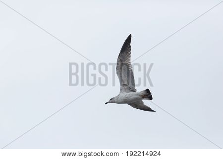 Yellow-legged Gull (larus Michahellis) In Flight