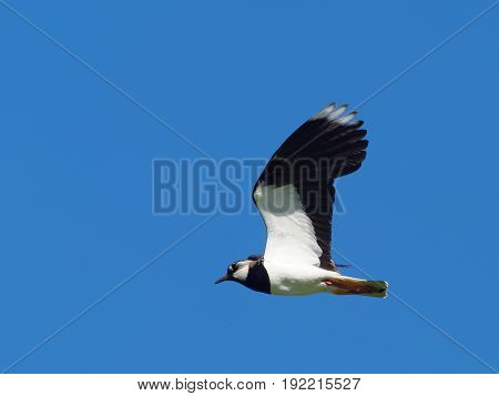 Lapwing in flight with blue sky as background - Vanellus vanellus