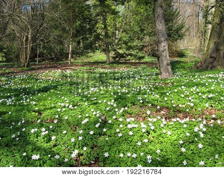 Forest with wood anemone in early spring