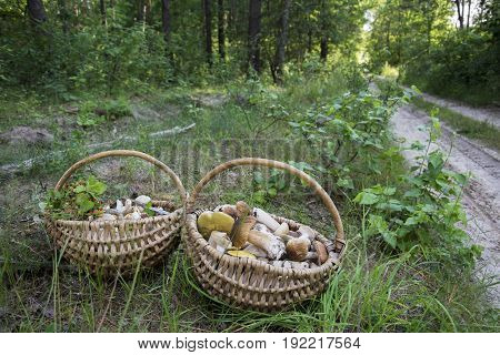 In the summer in the forest there are two full baskets with edible mushrooms: boletus chanterelle russula and strawberry.