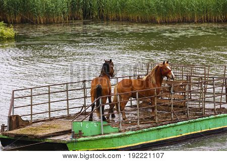 Wild horses from the captive delta delta and transported by ferry to water