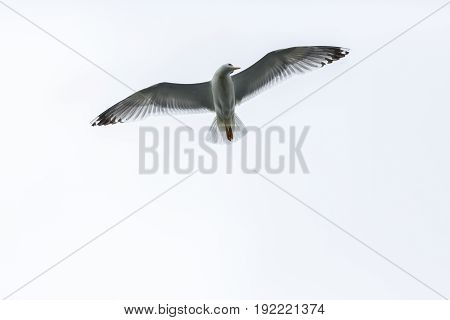 A Beautiful seagull flying in the sky