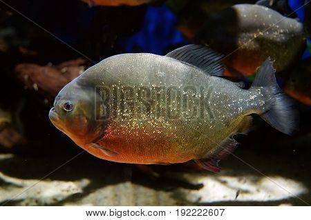 Piranha fish underwater close up view. Member of family Characidae